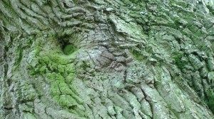 Oak Bark Eye